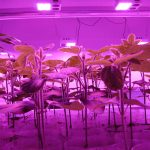 TJ Technologies plants under pink LED grow lights