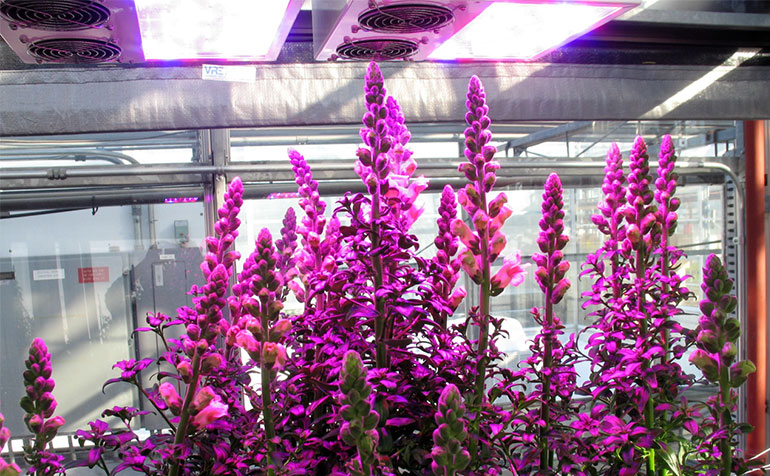 Optimum Light Level for Snapdragon Production with Supplemental LED Lighting