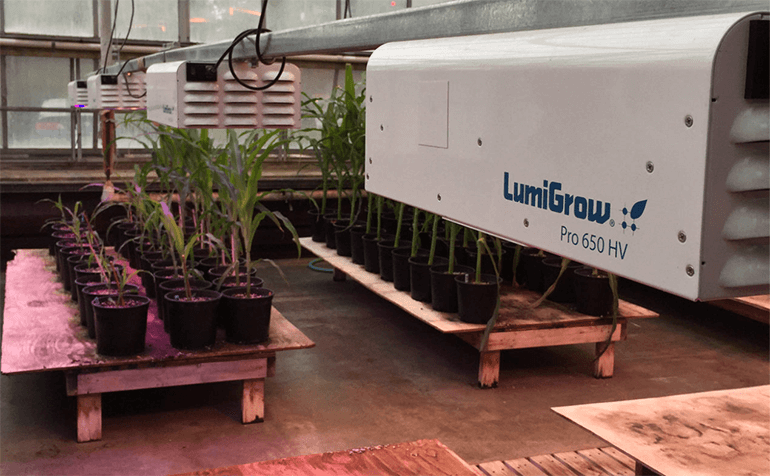 USDA Uses Spectral Control Strategies for Corn Research, Using LumiGrow LEDs