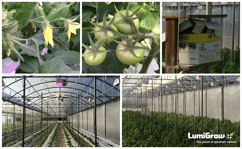 LumiGrow and Spectral Science Add Vigor to Tomatoes