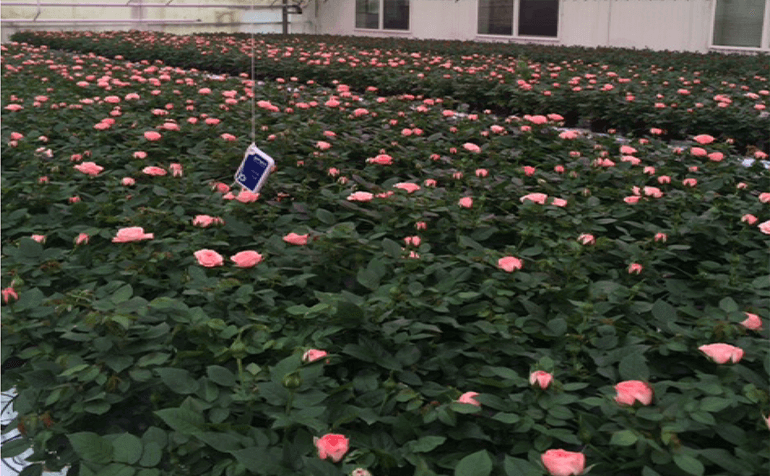 Effects of Spectral Ratios on Miniature Rose Growth and Morphology