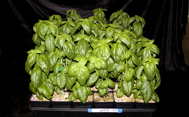 LED Lighting Can Control Plant Growth, Flavor and Aroma in Ocimum Basilicum