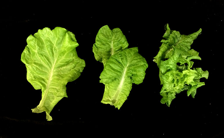 Optimizing Lettuce Quality, Taste and Morphology with LumiGrow LEDs