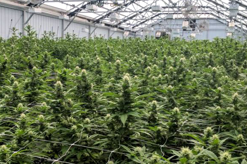 Cannabis Greenhouse Achieves High Yields, High THC and Boost Terpenes