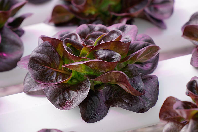 Using a High Yield Photoperiod to Increase Lettuce Production by 40%