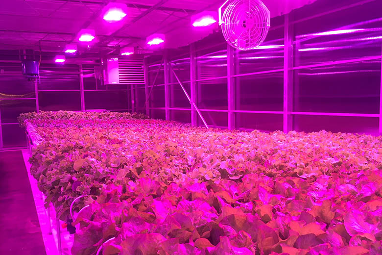 Fresh Roots Greenhouse Decreases Crop Cycle for Lettuce by 30%