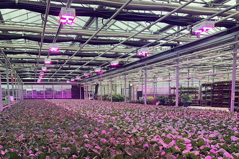Hendriks Greenhouses Utilizes Light Spectrum to Control Height and Increase Root Growth by 20% in Kalanchoes Compared to HPS