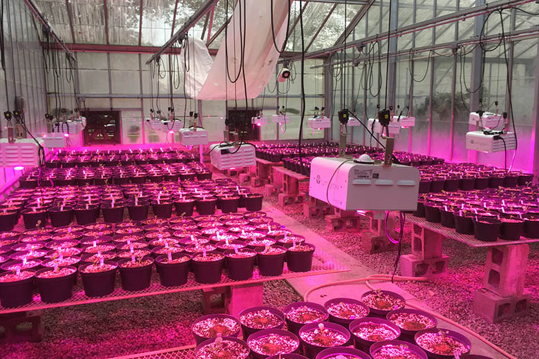 LumiGrow LEDs Support Brassica rapa Developmental Genetics Research at Miami University