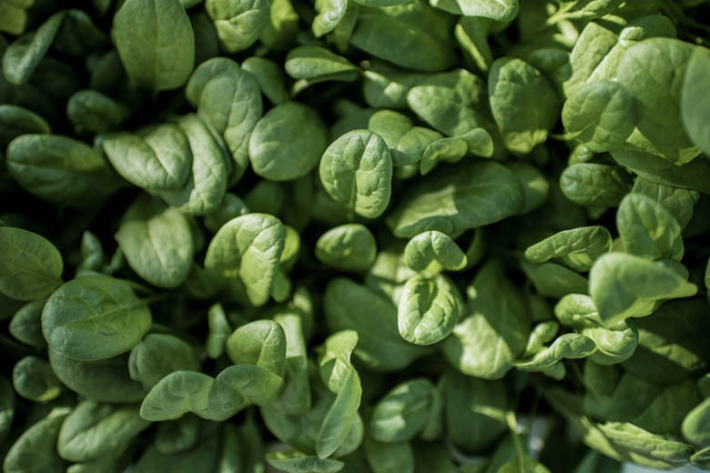 Element Farms Automates Photoperiod and DLI for Perfect Baby Greens Year-Round