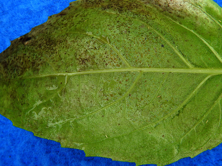 High quality close-up image of basil downy mildew