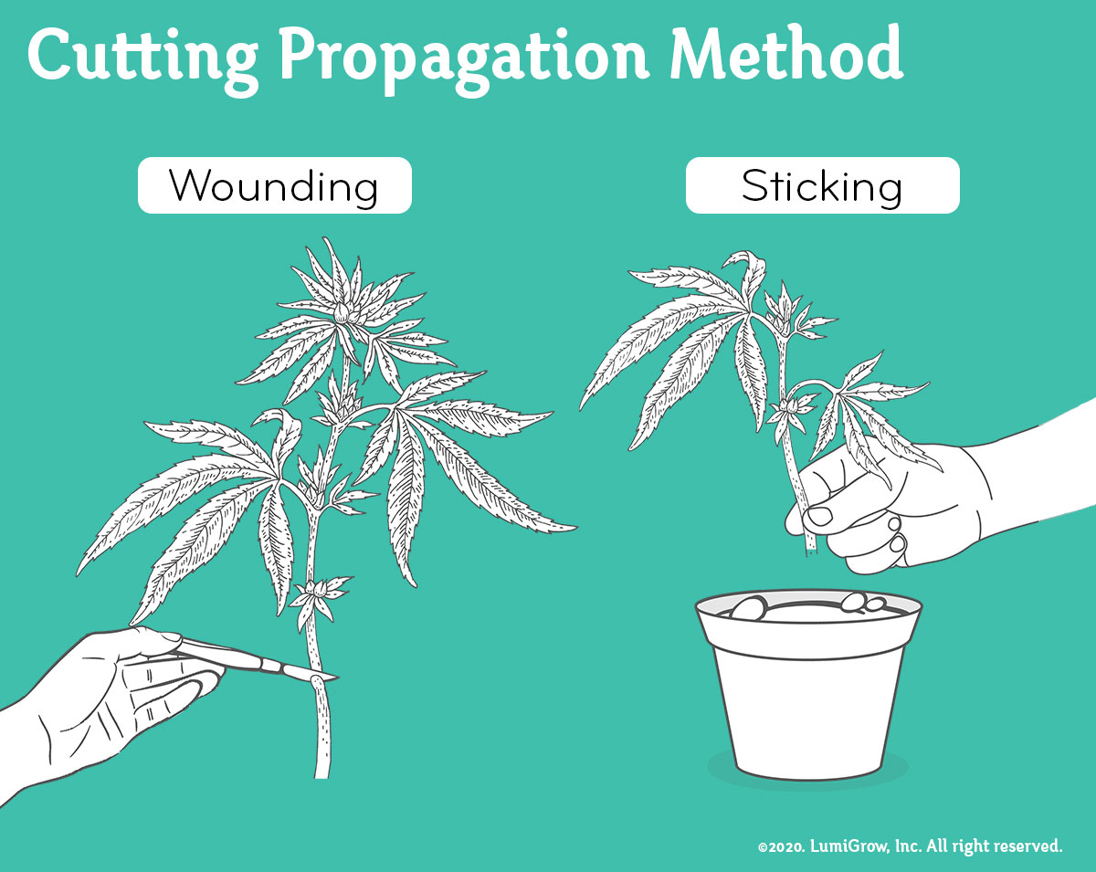 how-to-clone-cannabis-graphic