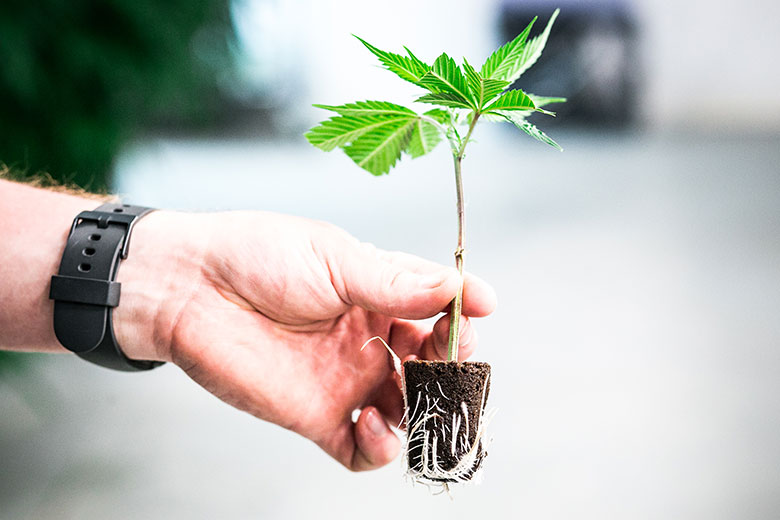 young-cannabis-clone